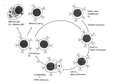 实验原理 溶血空斑试验,又称空斑形成细胞(Plague Forming Cell,PFC)试验,是一种体外检测抗体形成细胞的方法。将一定量洗涤过的绵羊红细胞注射入小鼠腹腔,四天后将小鼠杀死,取脾脏制成脾细胞悬液,内含抗体形成细胞。然后将脾细胞、绵羊红细胞,补体混合孵育。由于PFC 所分泌的抗体和绵羊红血球结合形成抗原抗体复合物,在补体作用下可使红细胞溶解,于特制的小室内形成肉眼可见的溶血空斑。一个空斑即代表一个抗体形成细胞。